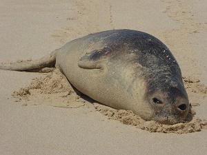 Elephant Seal 2